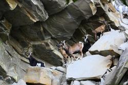 Troupeau de chèvres de la Heid des Gattes